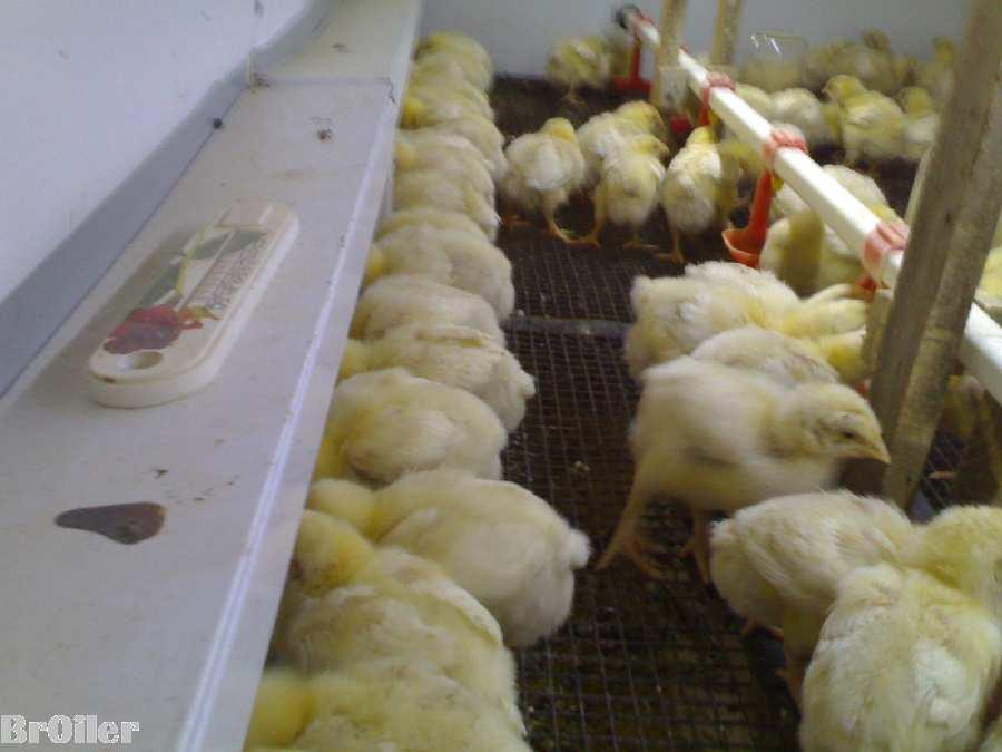 Брудер на 150 - 200 шт. цыплят