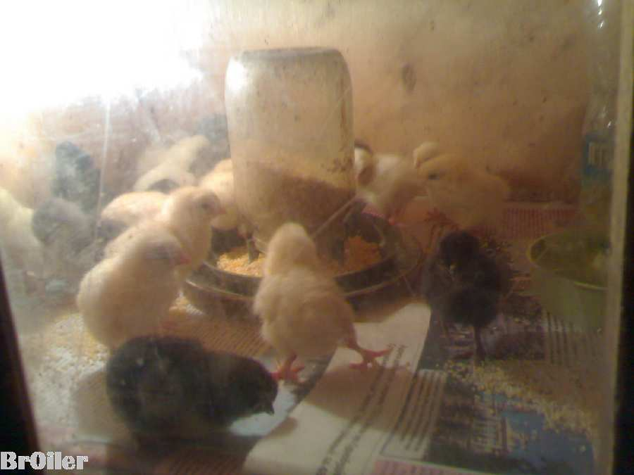 Брудер на 150 шт. цыплят