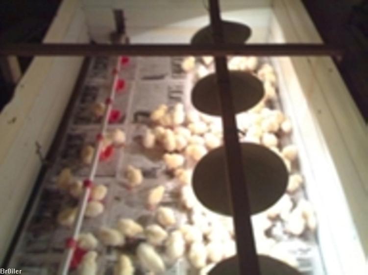 С. Согревать цыплят необходимо
