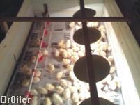 После того, как вольер - клетка для цыплят с первого дня жизни по двадцатый готова на сетку ( которая служит полом...